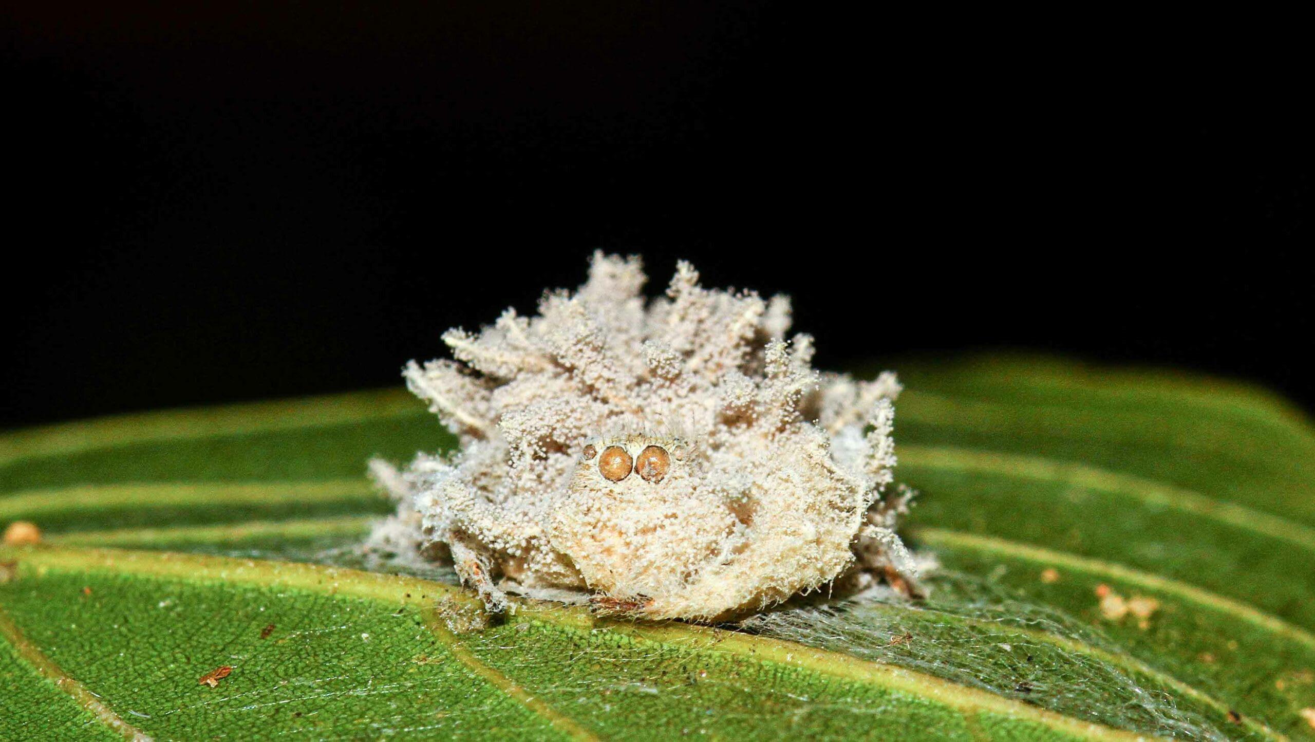 jumping-spider-mummified-cordyceps-fungus