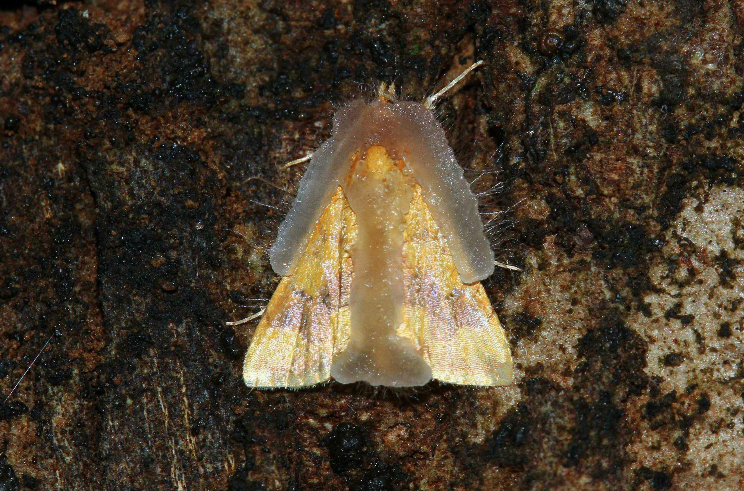 perilla-leaf-moth-a-gelatinous-fungus