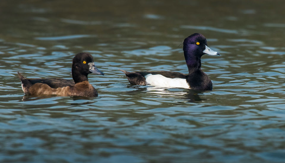 west-bengal-tufted-pochard-swimming-two