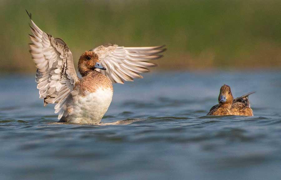 gujarat-jamnagar-eurasian-wigeon-with-wings-flapping