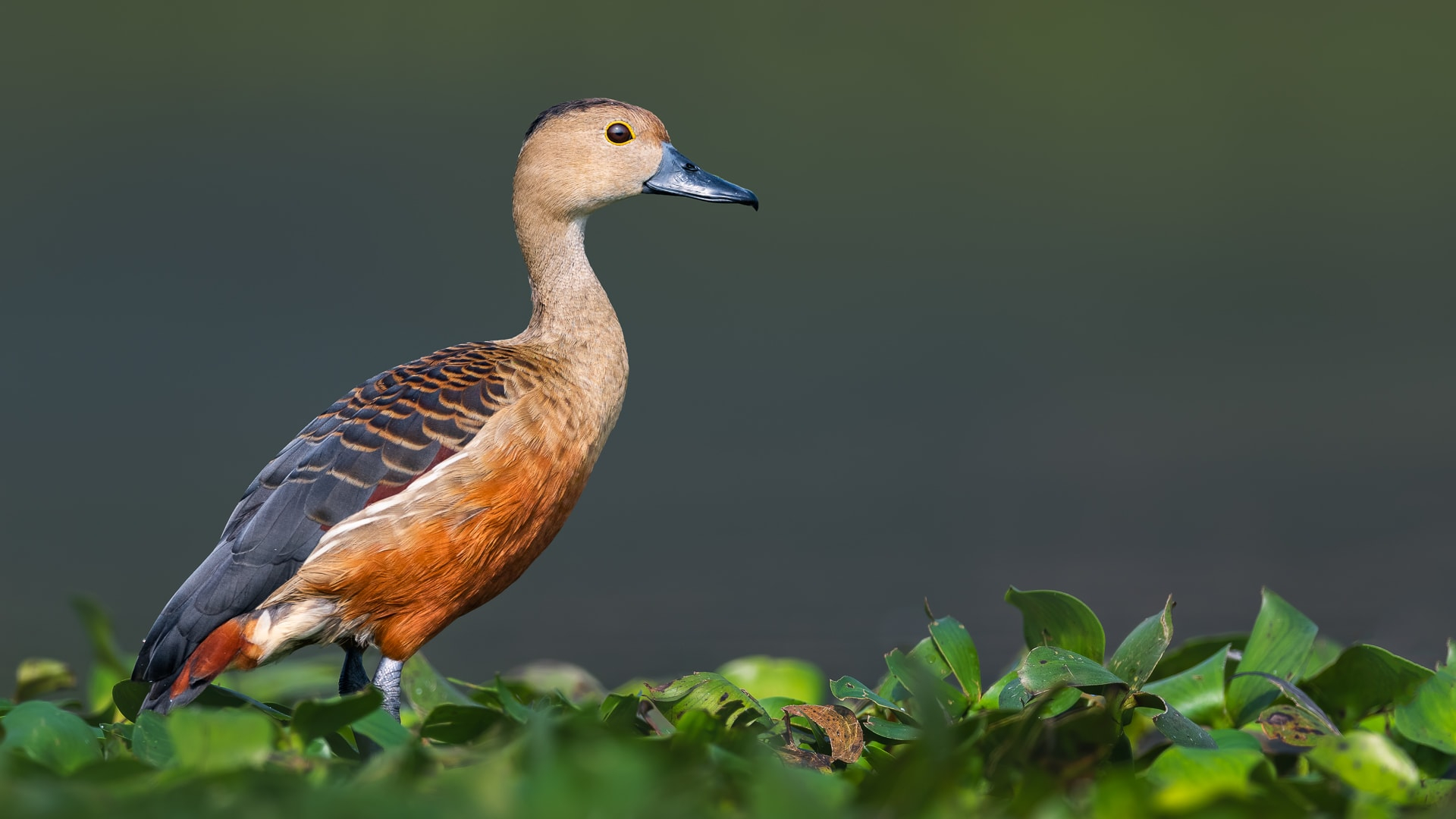 """Perhaps the most cheerful of our resident ducks is the lesser-whistling teal (Dendrocygna javanica), a smallish cinnamon-coloured duck with an upright posture and a cheeky schoolboy """"seasick-seasick"""" whistle, usually given on the wing. Photo: Abhishek Das"""