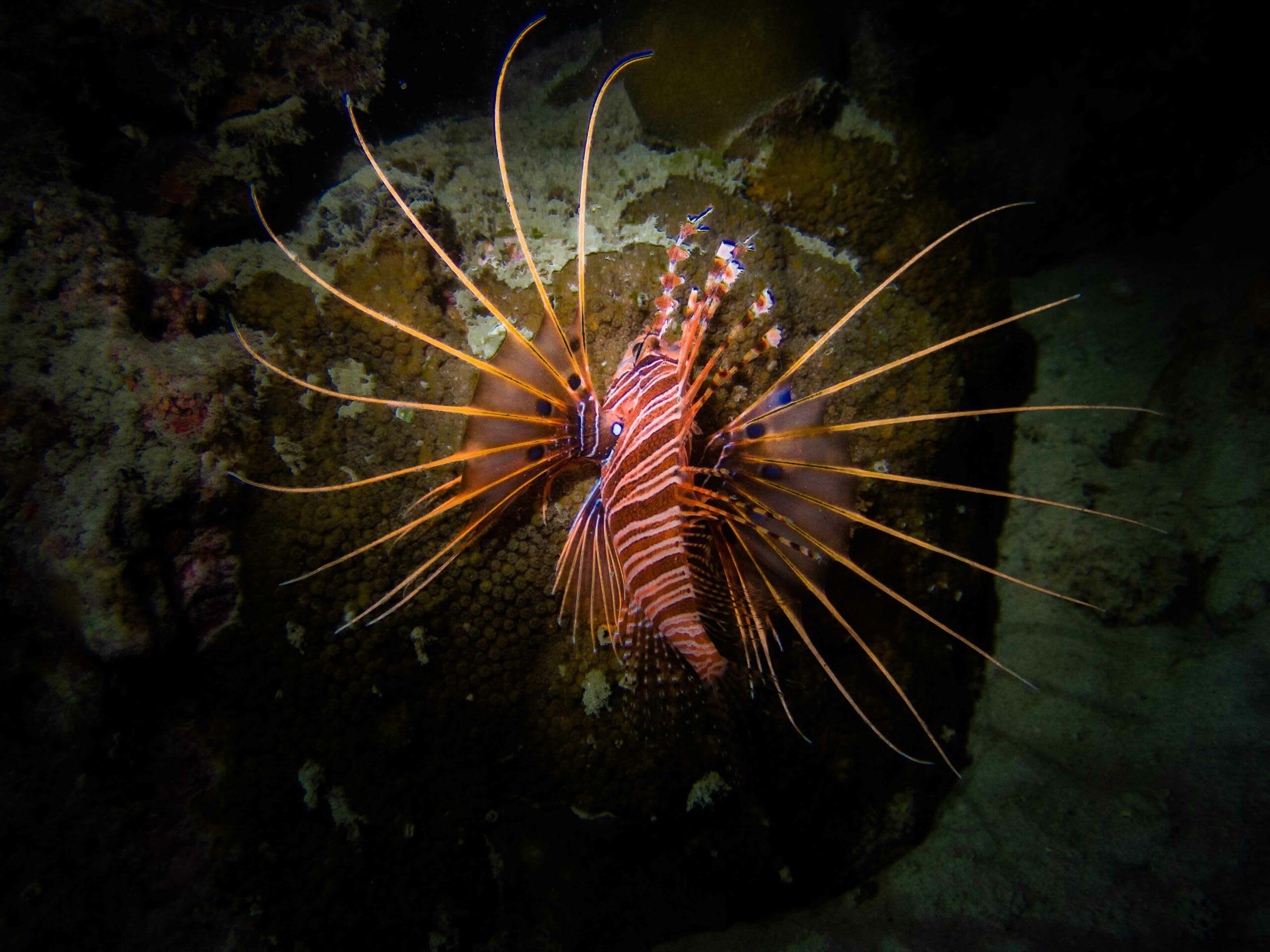 night-dive-lionfish