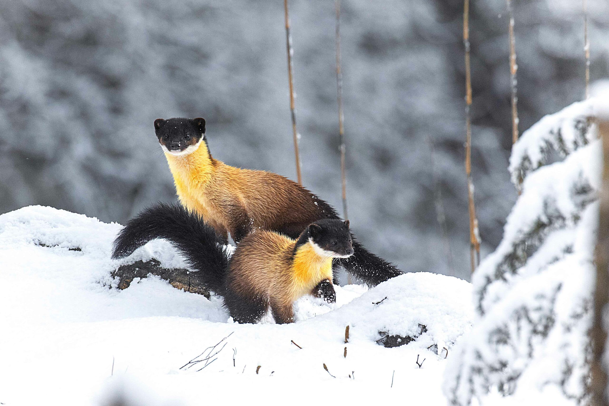 """Lonnie Grassman, who studied yellow-throated martens in Thailand's Phu Khiao Wildlife Sanctuary, remembers seeing """"adult pairs, running around the roads together, quite vocal, running in circles."""" His study showed that the average range of yellow-throated martens was about seven sq km, though he could not say how many individuals shared a territory. In a phone interview with the biologist, who currently studies wild felids in Texas, he said, martens reminded him of otters,  """"very curious, very active, very fast.""""  Photo: Sourav Mondal"""