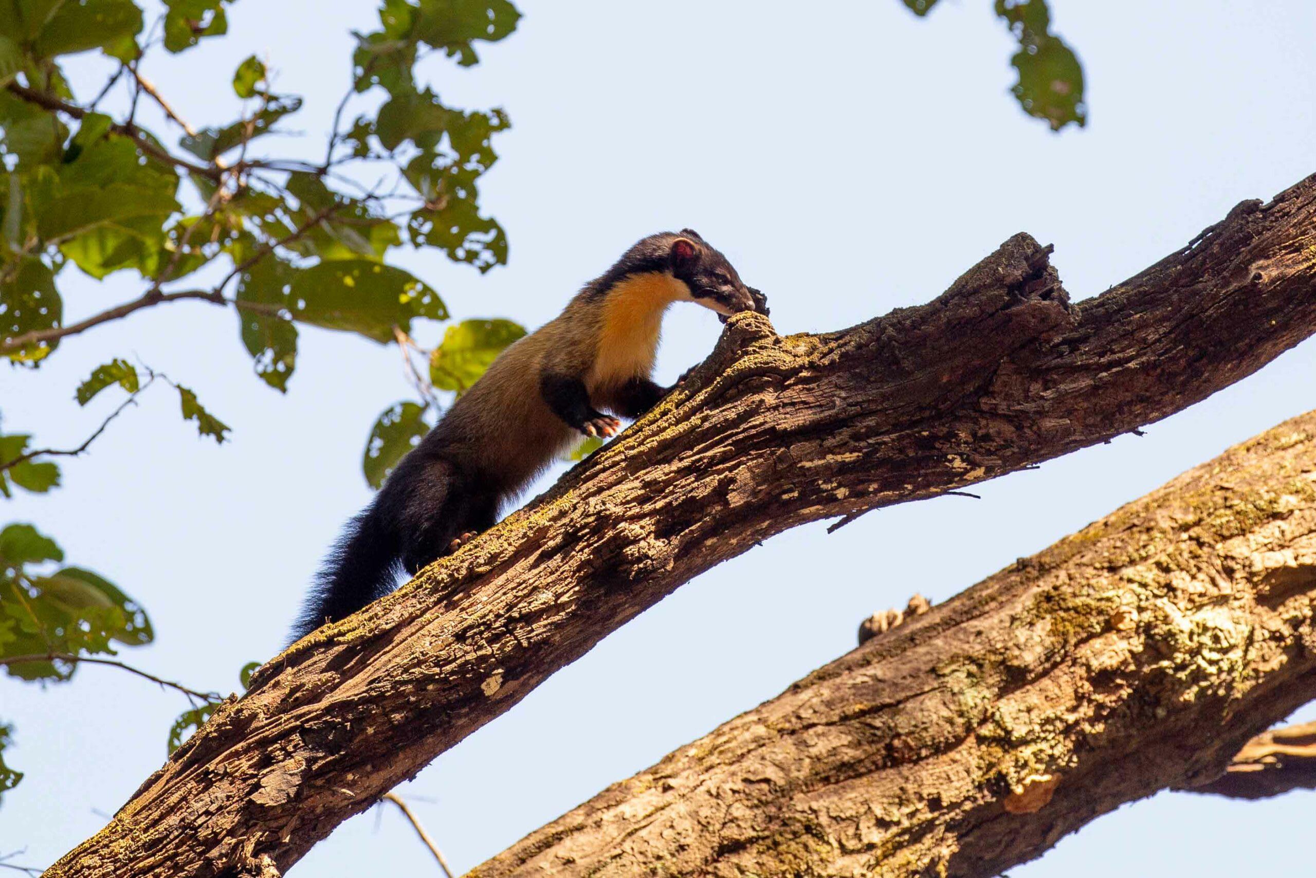 corbett-yellow-throated-marten-on-a-tree-raiding-bird-nest