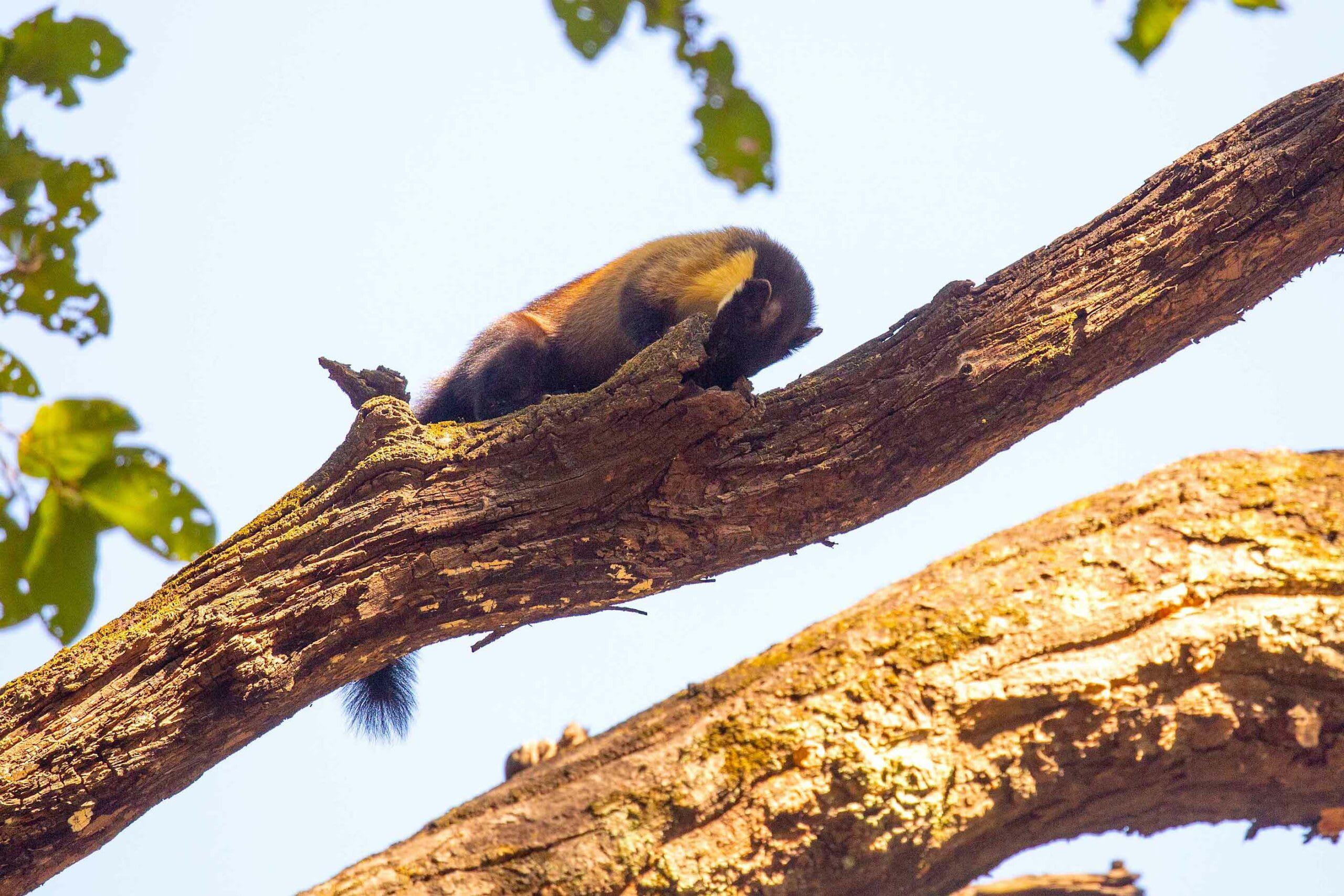 corbett-yellow-throated-marten-on-a-tree-raiding-bird-nest-nose