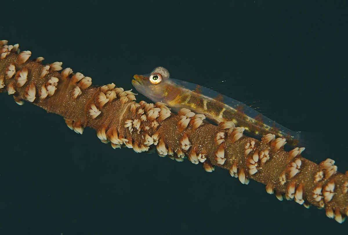 whip-coral-goby