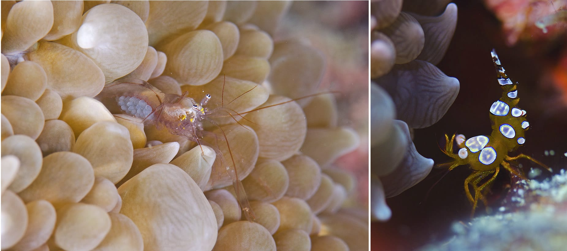 Some shrimp prefer to associate with anemone relatives (cnidarians) like coral. Bubble coral (Physogyra sp.) are hard coral that possess bulbous tentacles that are extended during the daytime giving the coral a bubbly appearance. (Left) An unidentified shrimp extends itself out of its bubble coral home to filter feed; developing eggs are clearly visible under its transparent abdomen. (Right) Squat shrimp (Thor sp.) are often called sexy shrimp because of their provocative dance. Their quirky abdominal movements, often in sync with one another, are amusing to observe and can captivate divers for long underwater minutes; it's as if they're performing in a talent show.