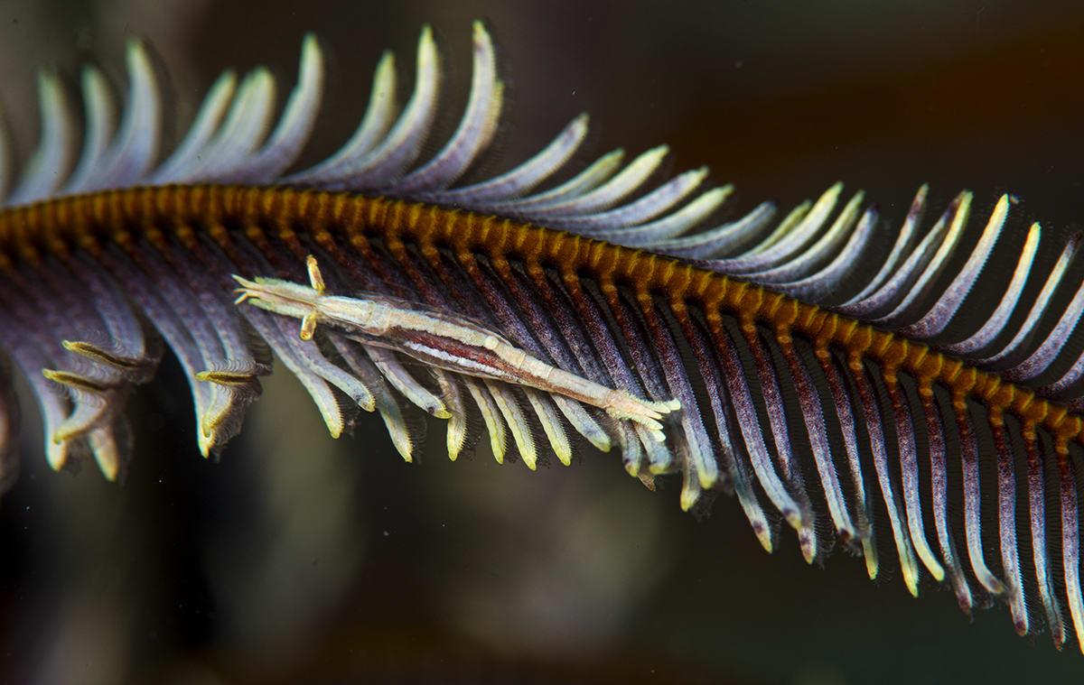 shrimp-on-feather-star