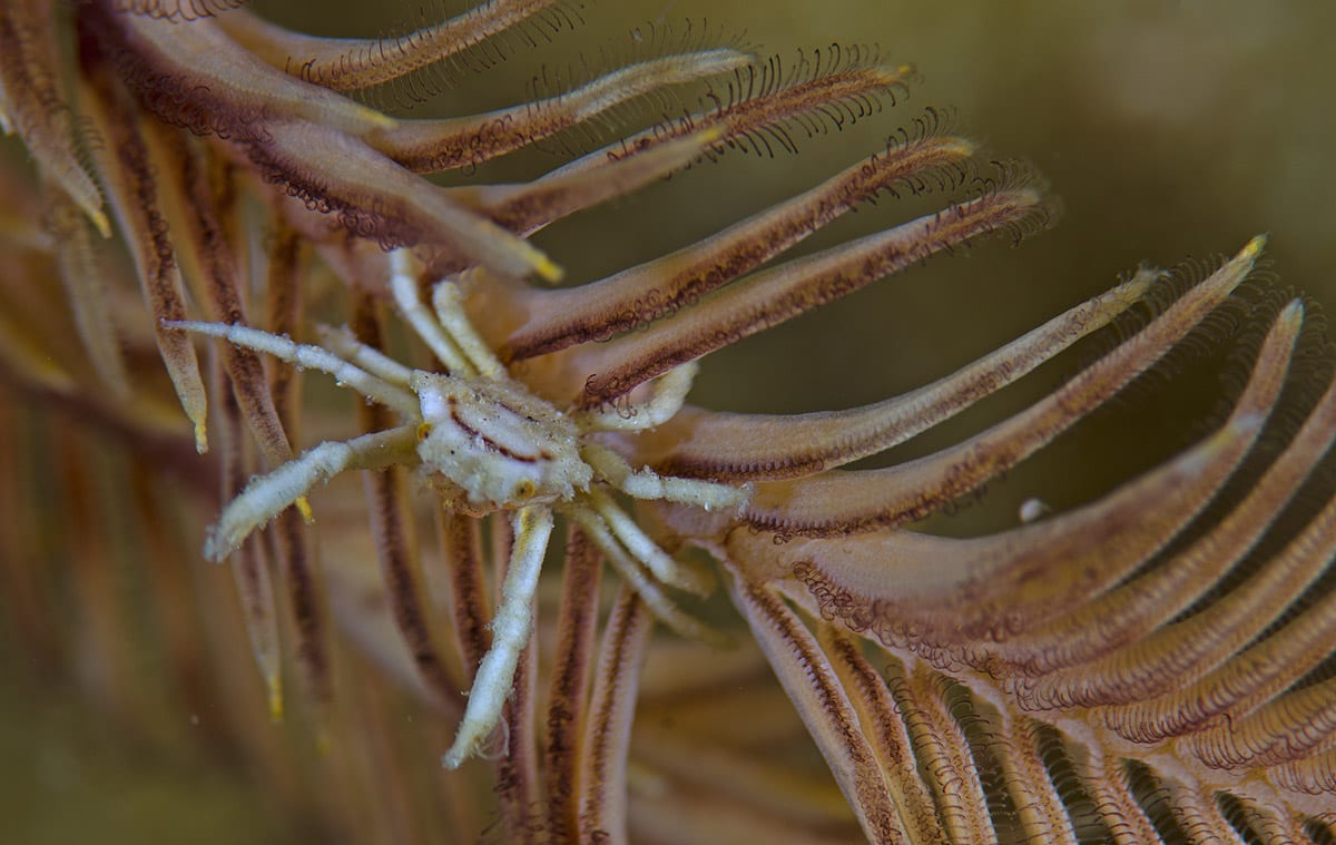 crab-on-a-feather star