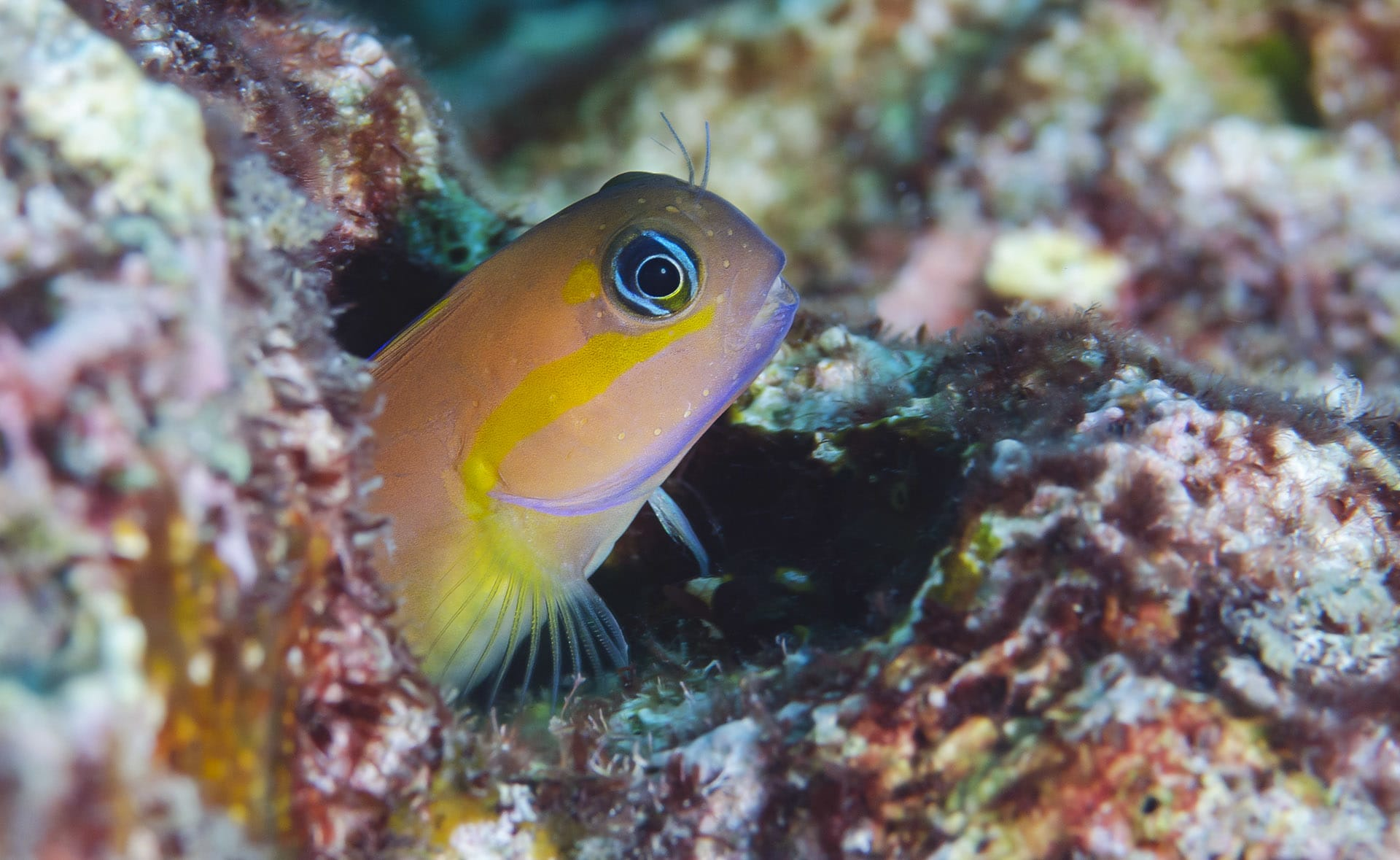 blenny-pepping-from-burrow-blue-eyes
