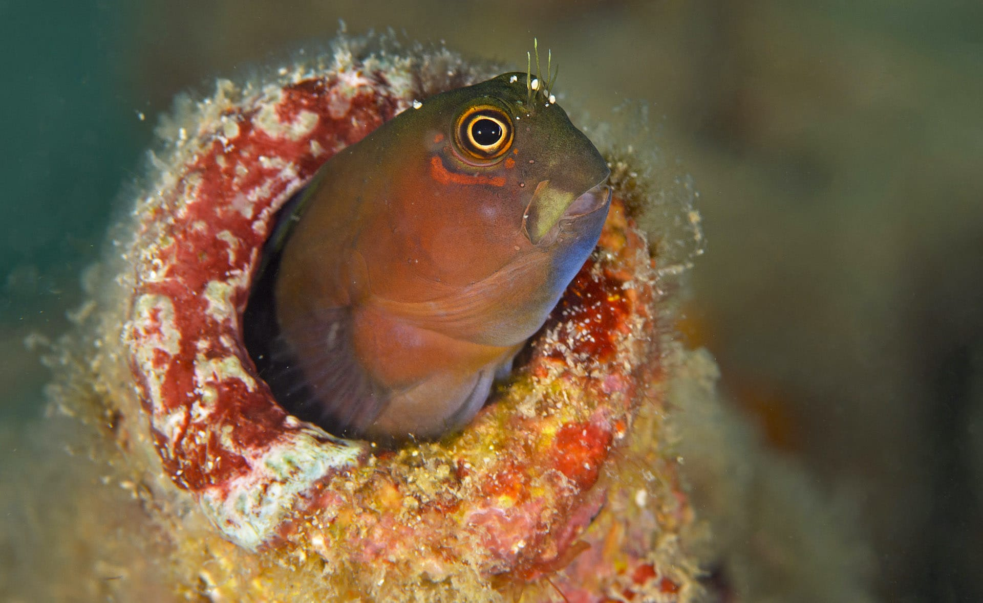 blenny-peeping-from-burrow