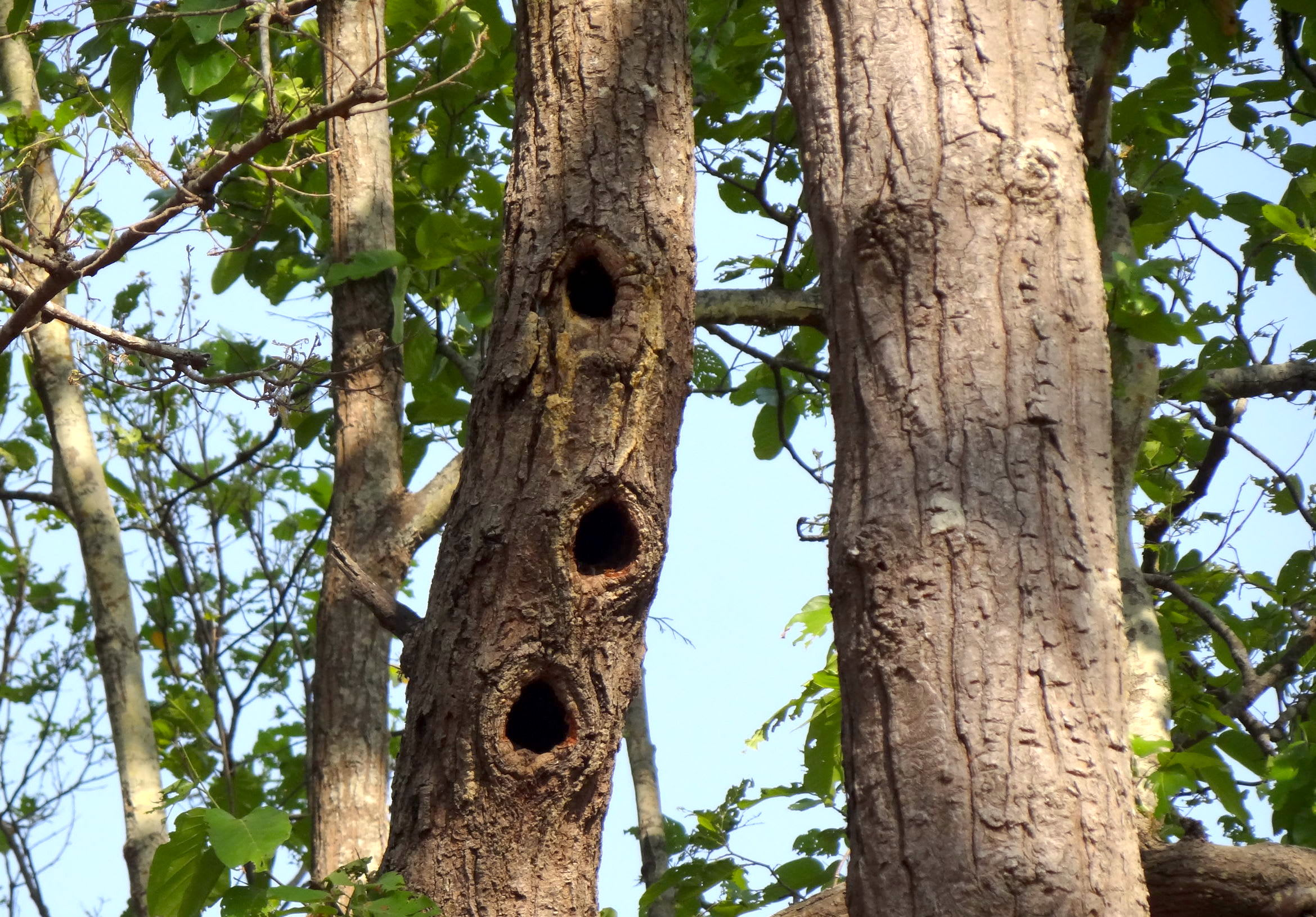 Great slaty woodpeckers travel in family flocks of 3-12 individuals and often build multiple cavities in a vertical formation on trees.