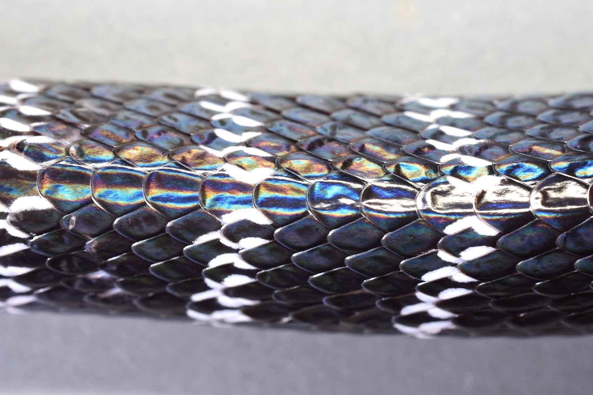 west-sikkim-yuksom-himalayan-krait-bungarus-bungaroides-close-up-scales