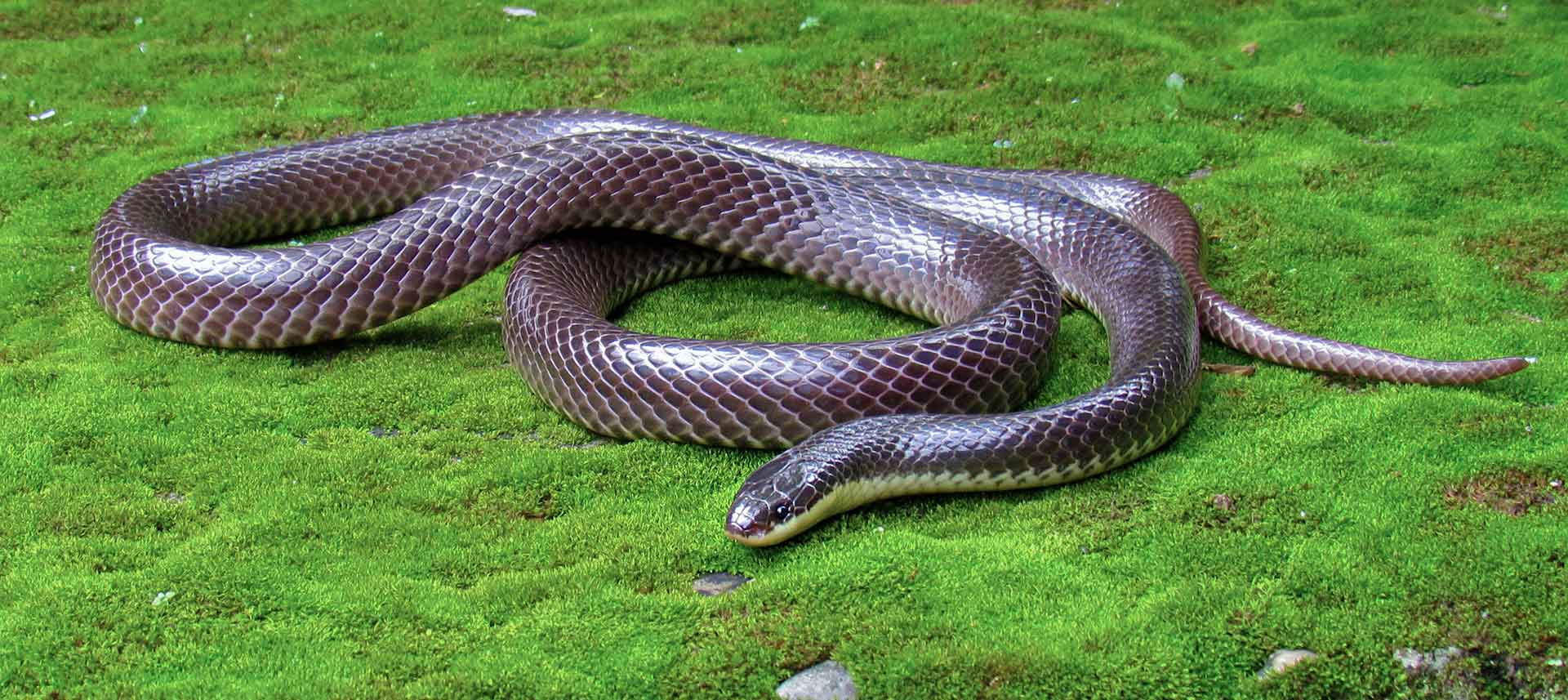 Lesser black krait (Bungarus lividus) was first described by Theodore Cantor in 1839 with a specimen from Assam. The name lividus refers to the bluish lead metallic colour of the snake. Its bites are fatal. We know hardly anything else about this small, secretive snake. Photo: Avrajjal Ghosh