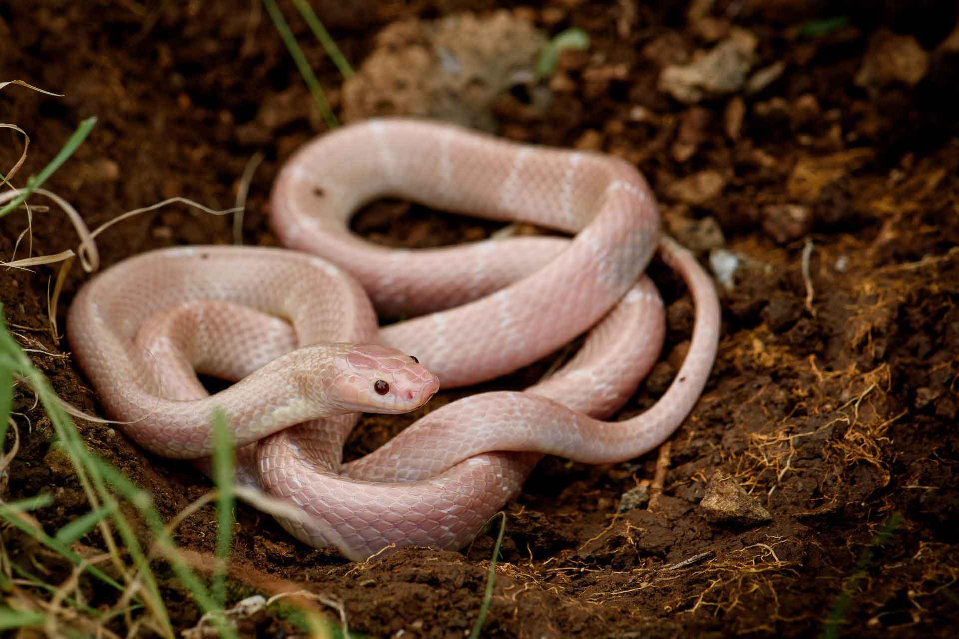 common-indian-krait-bungarus-caeruleus-albino