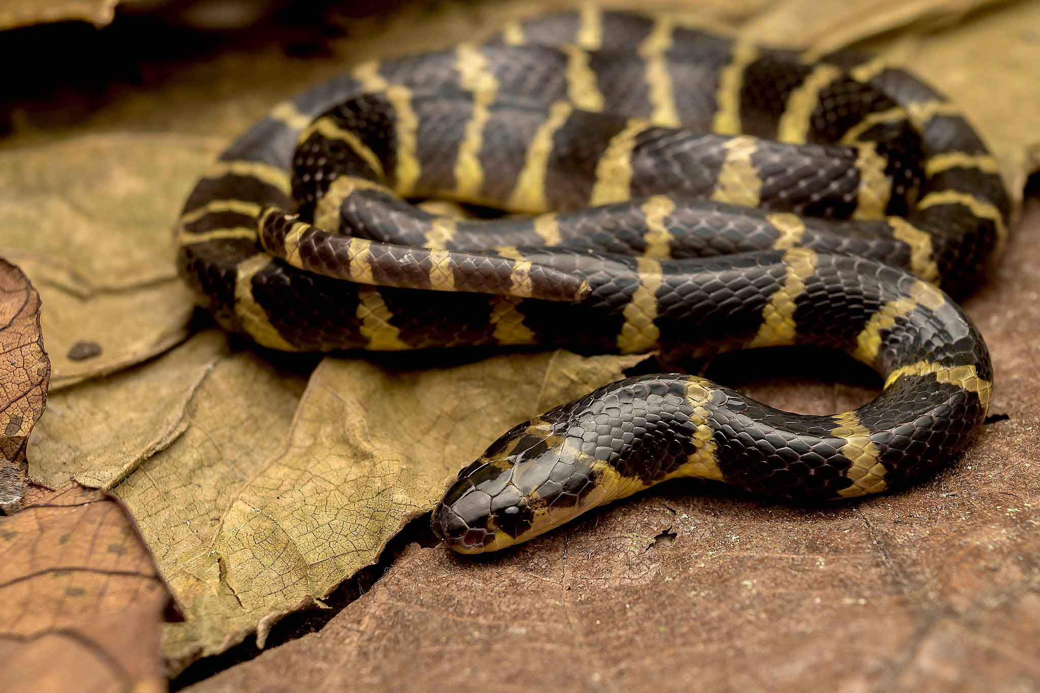 As the name suggests, the Andamans krait (Bungarus andamanensis) is found only in the Andaman Islands and was described in 1978 by S Biswas and DP Sanyal of the Zoological Survey of India. It is the only krait species found on the islands, and interestingly, does not occur in the nearby Nicobar Islands. The snake is seen near roadside ditches during the monsoon. However, nothing is known about its venom, and no fatalities have been reported. Photo: Girish Choure