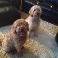 We Love Our Doodles and All Dogs! dog boarding & pet sitting