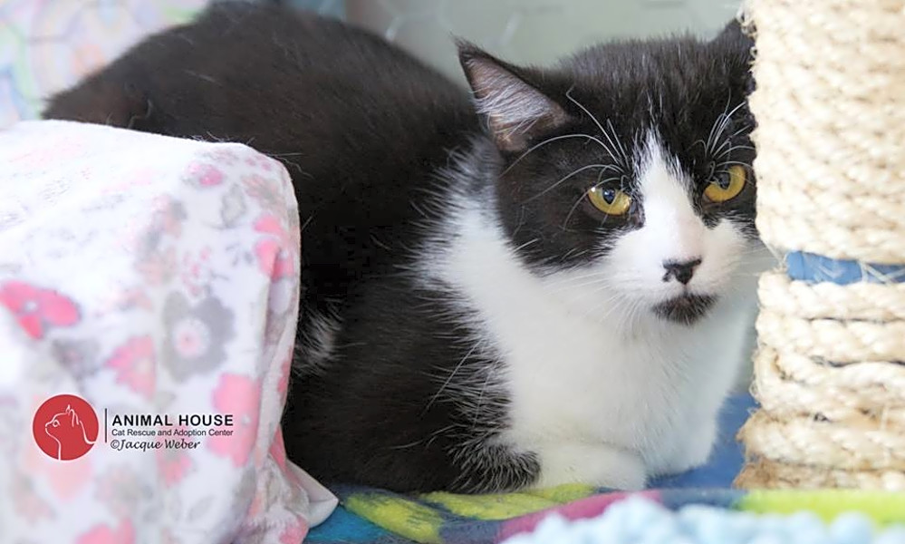 Looking To Adopt A Pet Here Are 7 Lovable Kitties To Adopt Now In St Louis Hoodline