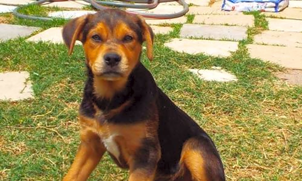 Want To Adopt A Pet Here Are 7 Perfect Puppies To Adopt Now In San Antonio