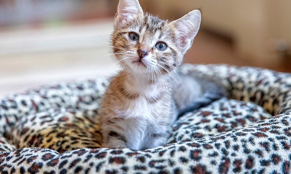 6 Lovable Kitties To Adopt Now In San Antonio