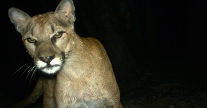 Mountain lion DNA found at Pescadero home where dog was snatched from bedroom