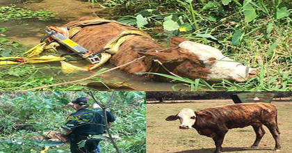 Cow Stuck in Belly-Deep Muddy Ditch Rescued Near Lakeland