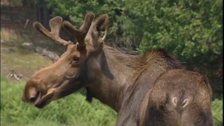 Wildlife Officials Interested in Public's Moose Photos