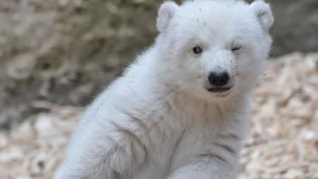 Winking polar bear cub makes adorable first steps at German zoo