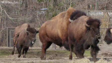 [VIDEO] Check Out This New Herd of Purebred Bison at the Bronx Zoo
