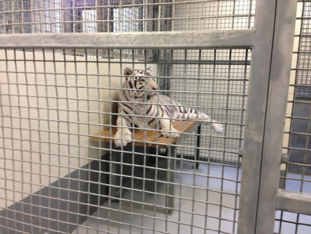 Landry's Must Pay Animal Welfare Group Over White Tiger Dispute