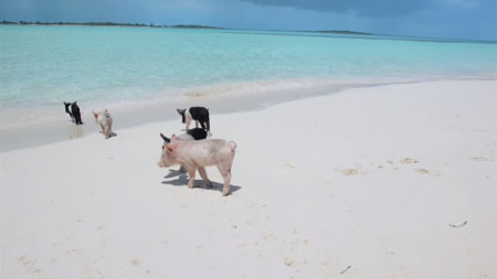 Famous Exuma Swimming Pigs Found Dead