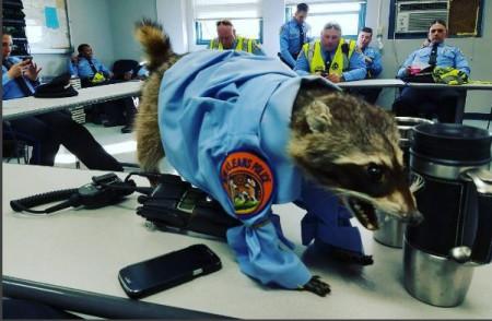 Stuffed raccoon becomes Mardi Gras superstar