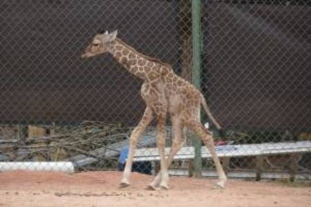 Denver's baby giraffe 'Dobby' has grown 5 inches in 3 weeks