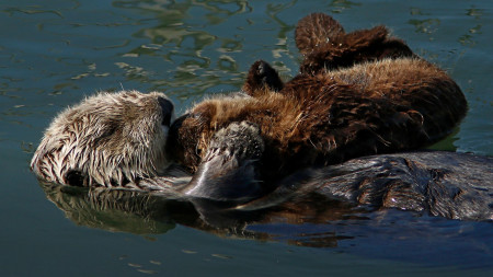 Defying man and nature, the sea otters of Morro Bay have made a comeback
