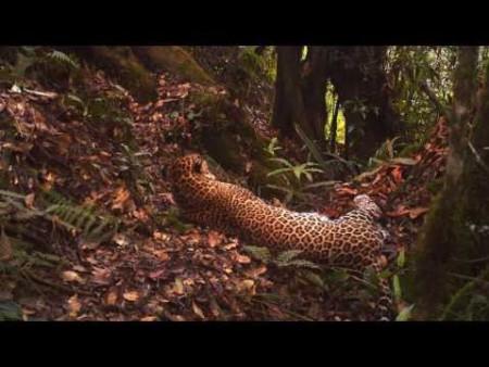 Javan leopard sighting in Indonesian national park raises hopes for critically endangered big cat