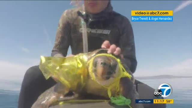 Jet skiers save Loggerhead turtle tangled in a balloon off Palos Verdes coast