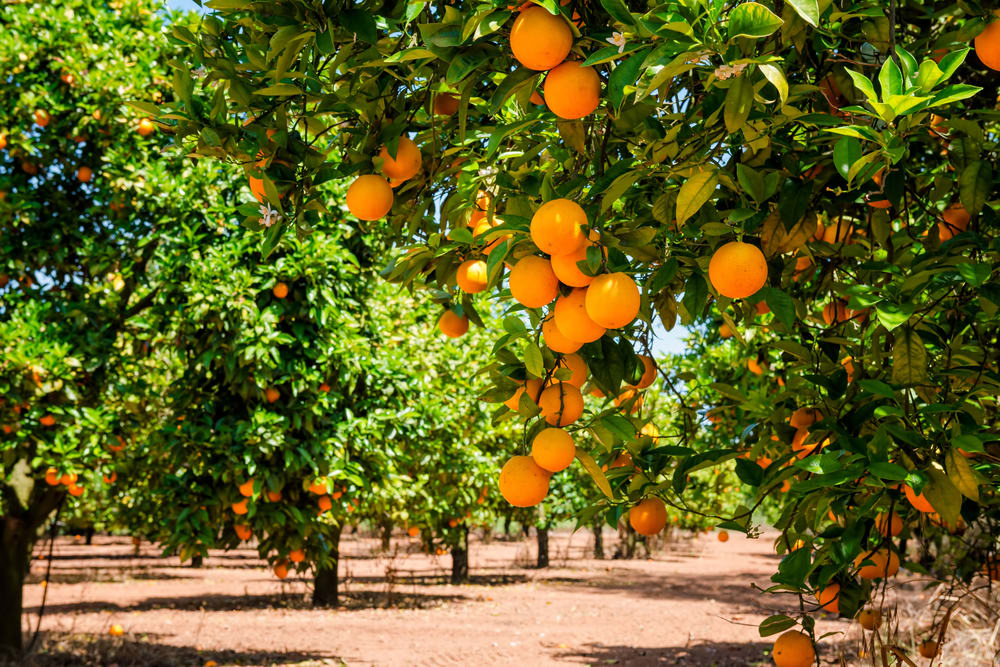 public://media/stock-images-other/Agriculture/orange_trees.jpg