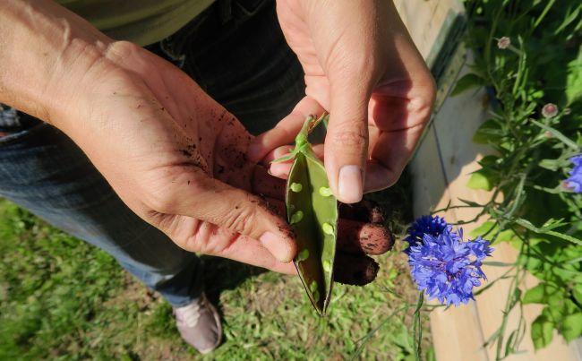 Nærbilde av bydelsmor Frødis' hender som holder en sukkerert. Hun åpner belgen for å vise fram ertene. På bakken under ser vi grønt gress og blå blomster.