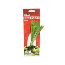 AZOO REAL PLANT SAGITTARIA 8 INCI