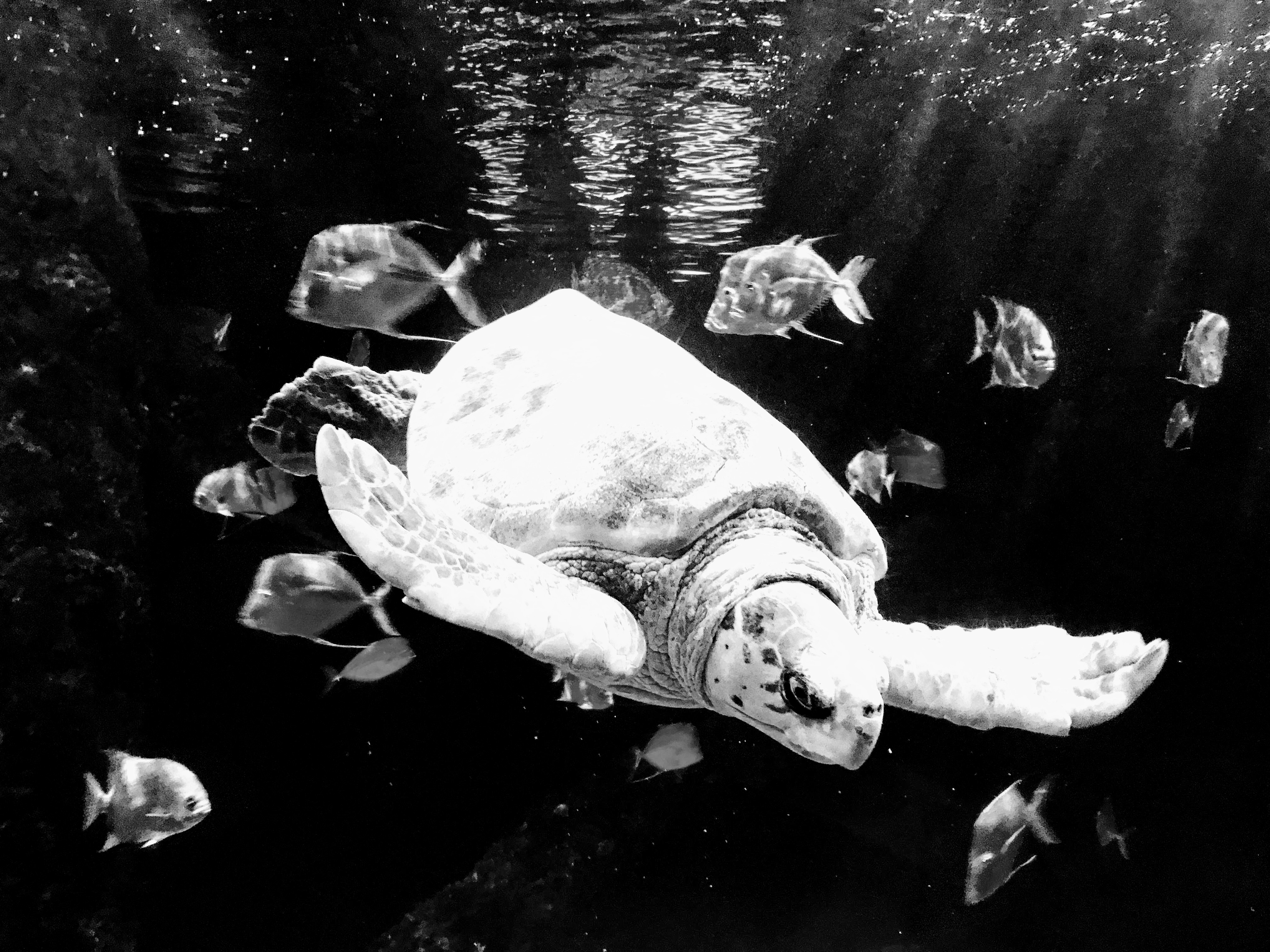 Turtle, Black and White, iPhone 7+
