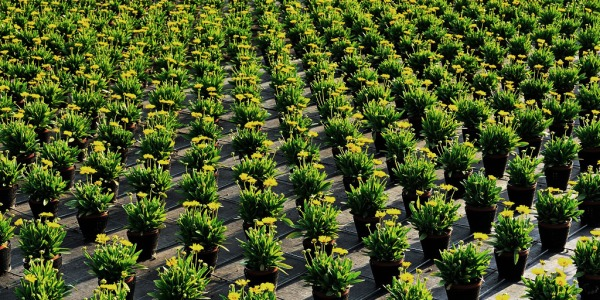 Rows of plants on a farm