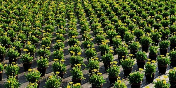 Rows of plants on a farm