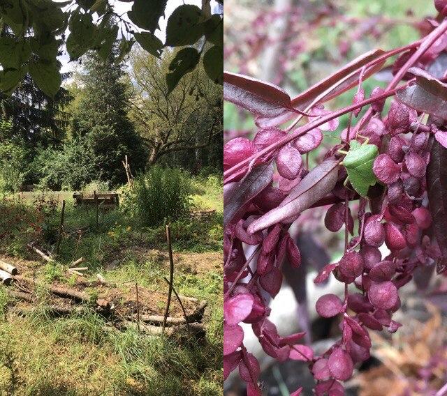 Der Garten im Sommer & Rote Gartenmelde<br>