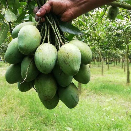 গোপালভোগ আম/ Gopalbhog Mango 10kg/ 20 kg