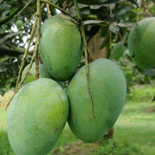 Himsagar Mango - হিমসাগর আম 10kg / 20kg
