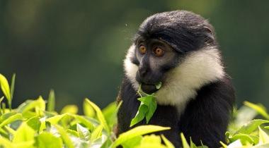 Apen en primatenreis in Rwanda en Oeganda