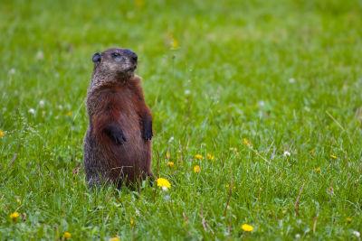 Groundhog standing2 xjlqxe