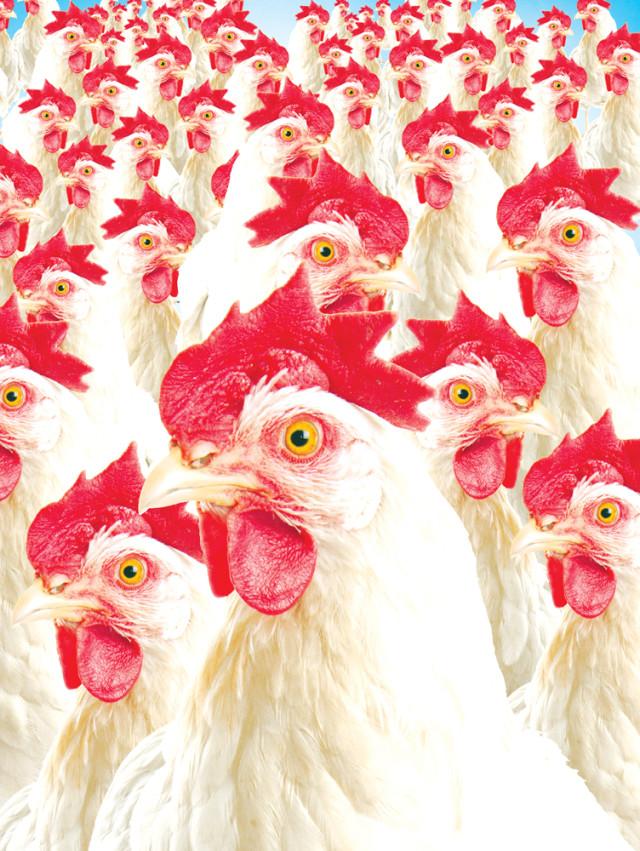 0915 chickens blule ekdkbj