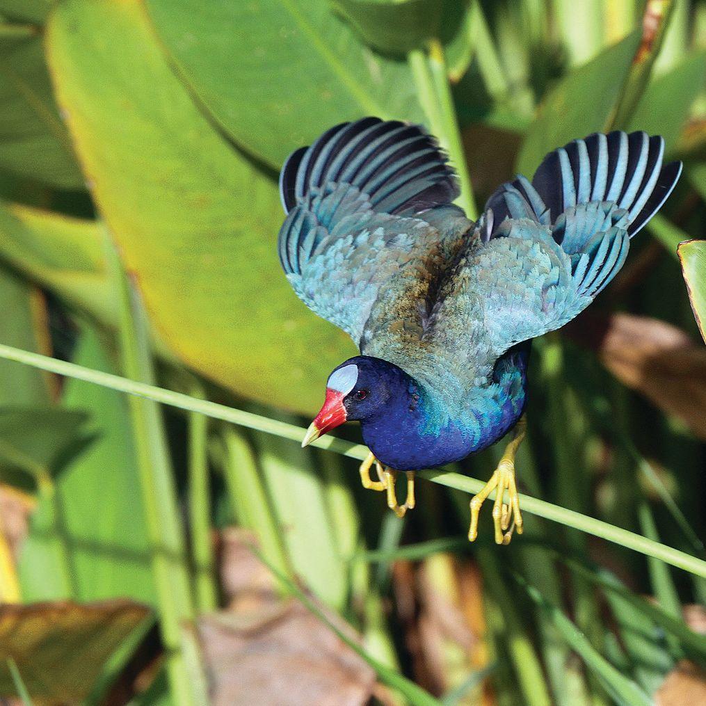 Adult purple gallinule rick greenspun ktdwip