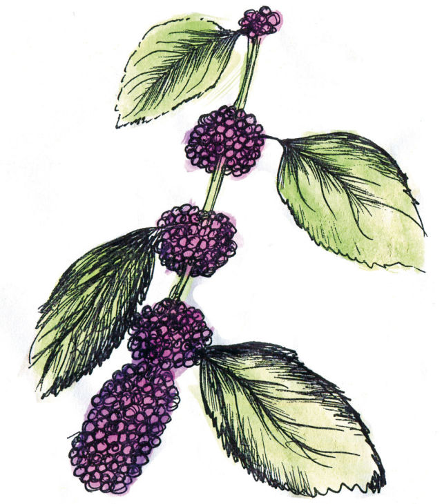 Beautyberry xlftus